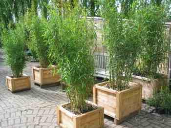 midden | Bamboe Informatie Centrum Nederland